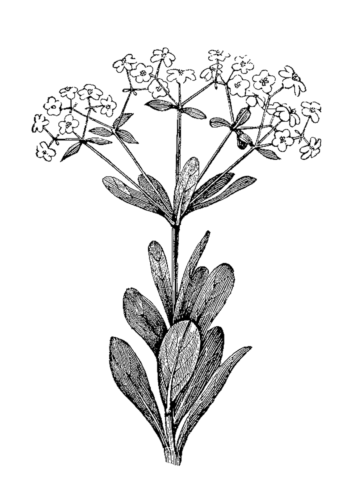 Botanical illustration black and white - photo#17