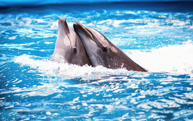 Wallpaper with two cuddling dolphins in the swimming pool