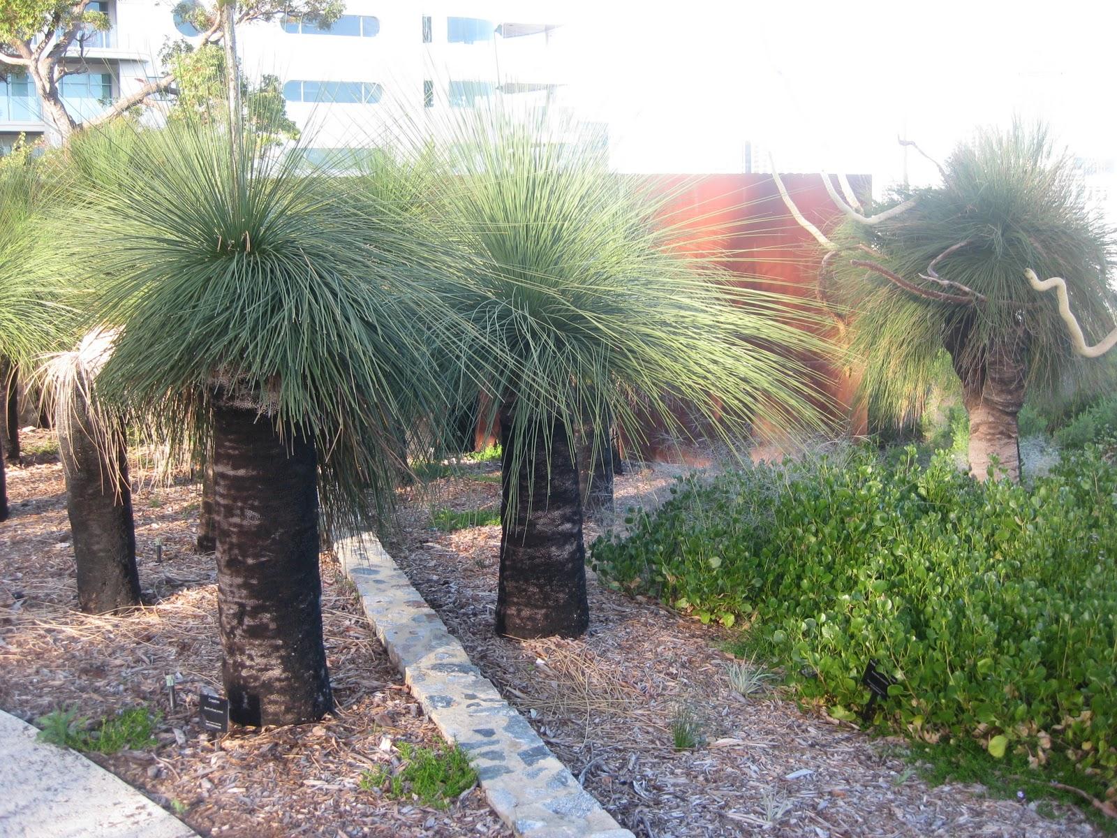 plantwerkz  xanthorrhoea australis   black boy