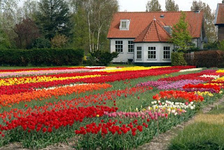 Know the Meaning of Flowers Tulip By Color
