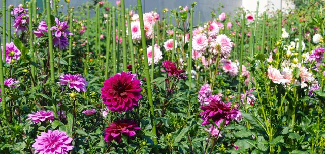 These large dahlias were on their lollypop sticks beside the kids garden.