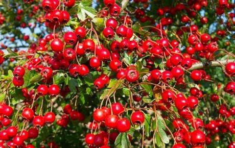 goji-berry-kurt-uzumu-nedir.jpg