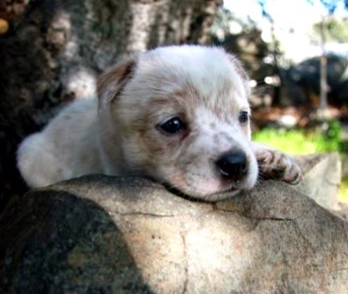Queensland Heeler Rescue Central California Design | Dog Breeds ...