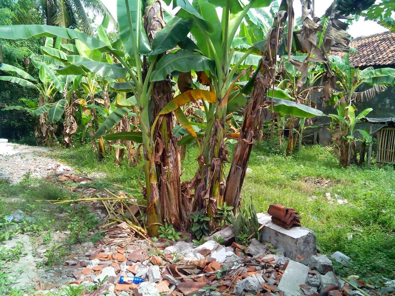 Jual Tanah Murah Strategis Lokasi Karangampel Indramayu. Hubungi Ali Syarief 087781958889-081320432002-089681867573-085724842955Pin 74BAF1FB