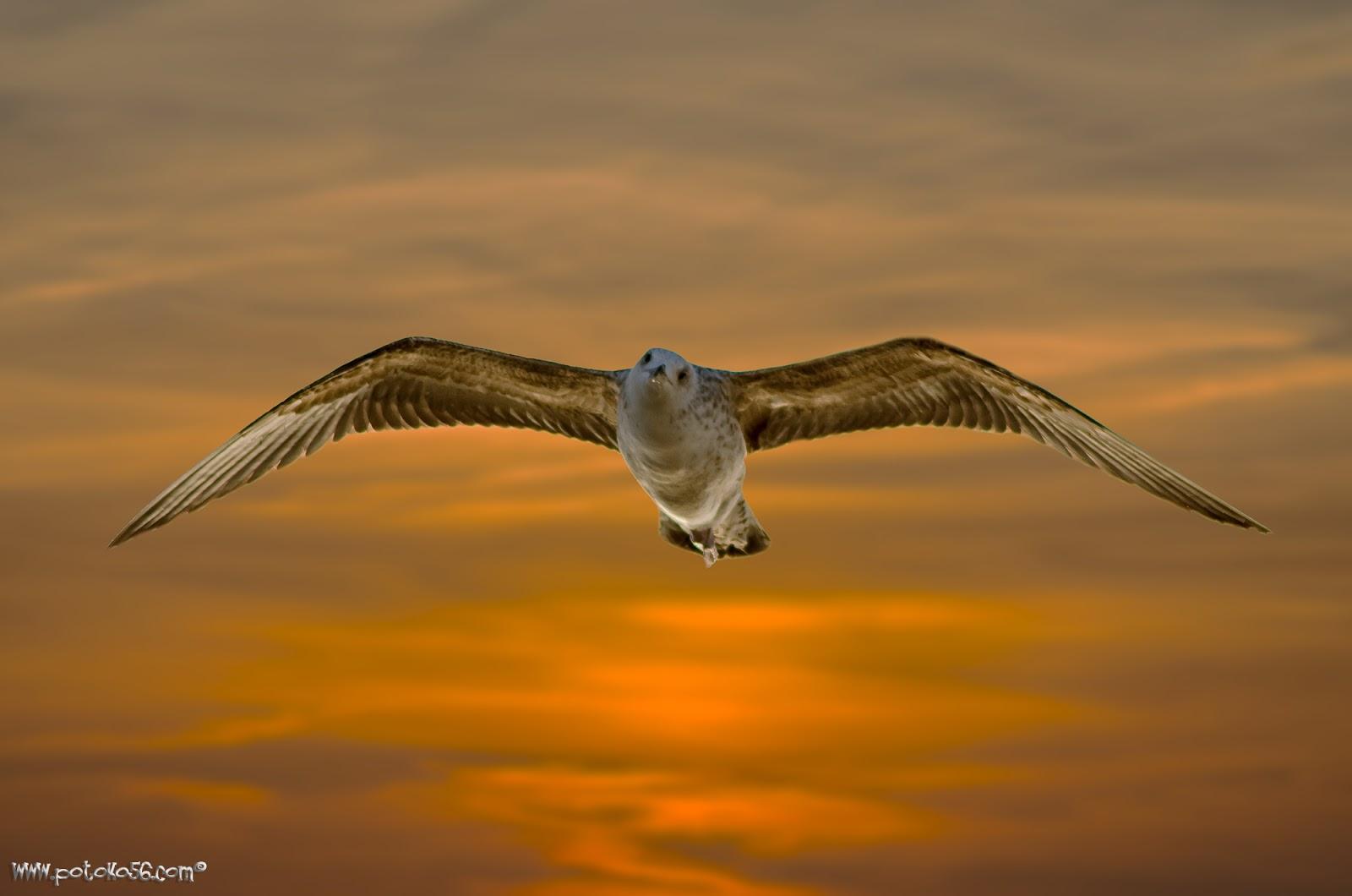 Gaviota al amanecer volando por Rota