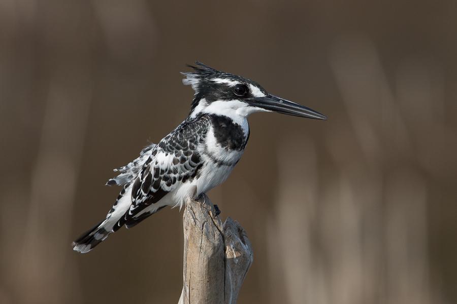 Pied Kingfishers
