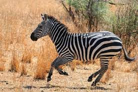 difference between zebra and horse difference between - 275×183