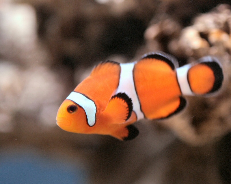Fish for What do clown fish eat