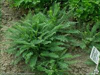 http://plantsgallery.blogspot.com/2008/01/filipendula-vulgaris-wizwka-bulwkowa.html