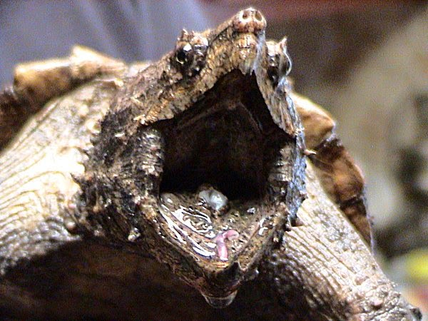 how strong are snapping turtle jaws