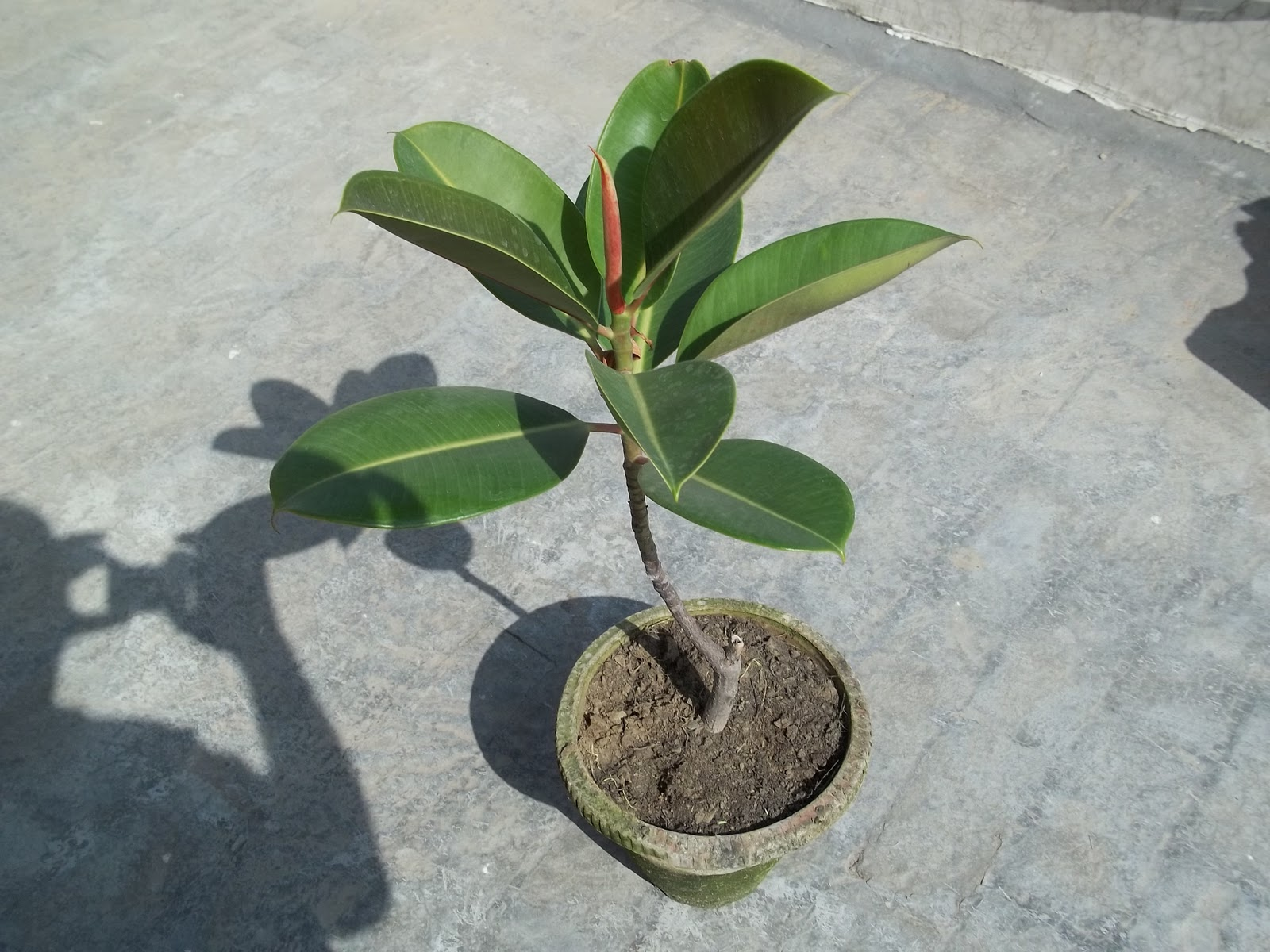 rubber fig rubber bush rubber tree rubber plant or indian rubber bush