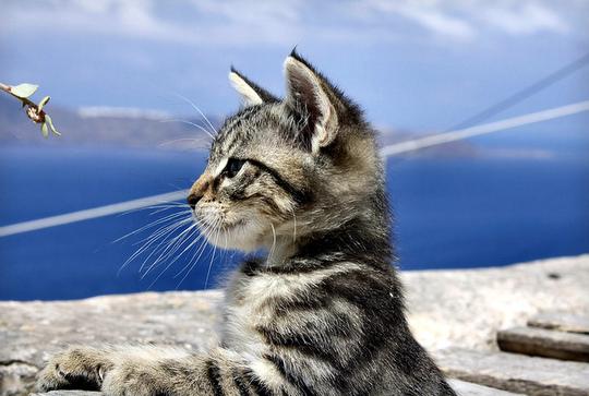 Fira Santorini cat
