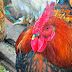 Kuroiler Chicken