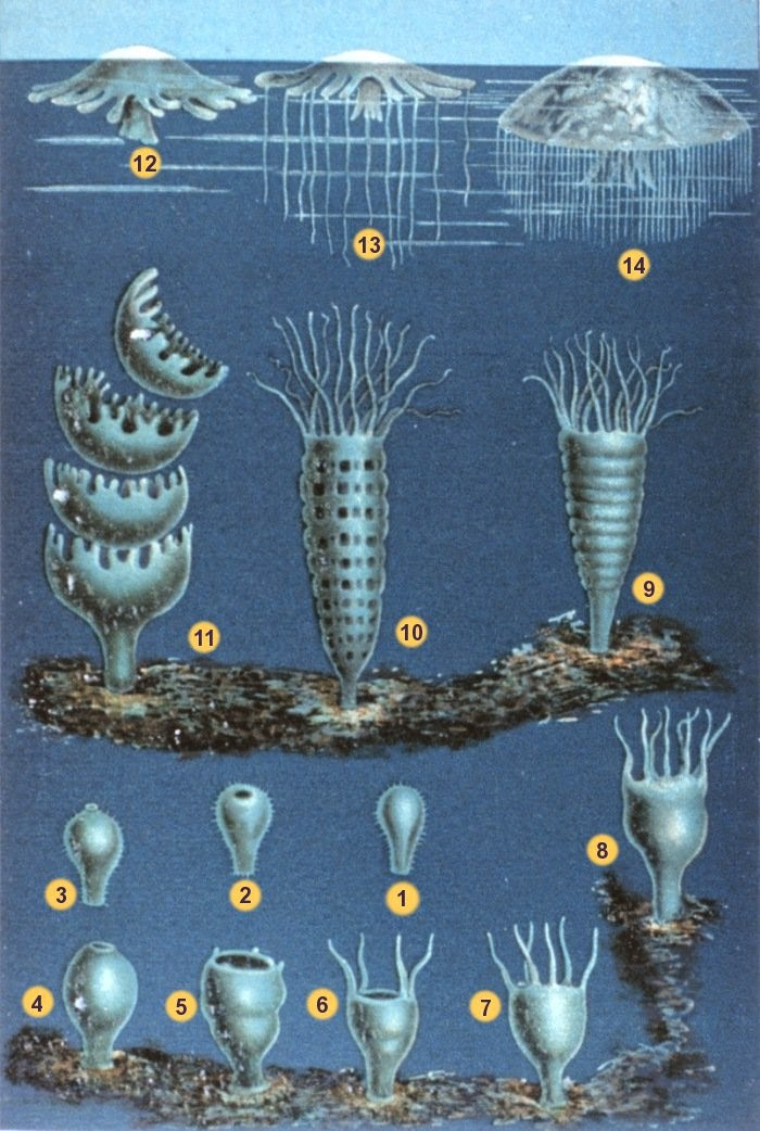 Jellyfish Reproduction Cycle