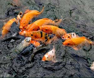 umpan ikan mas essen harian