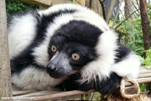 Lemur London zoo