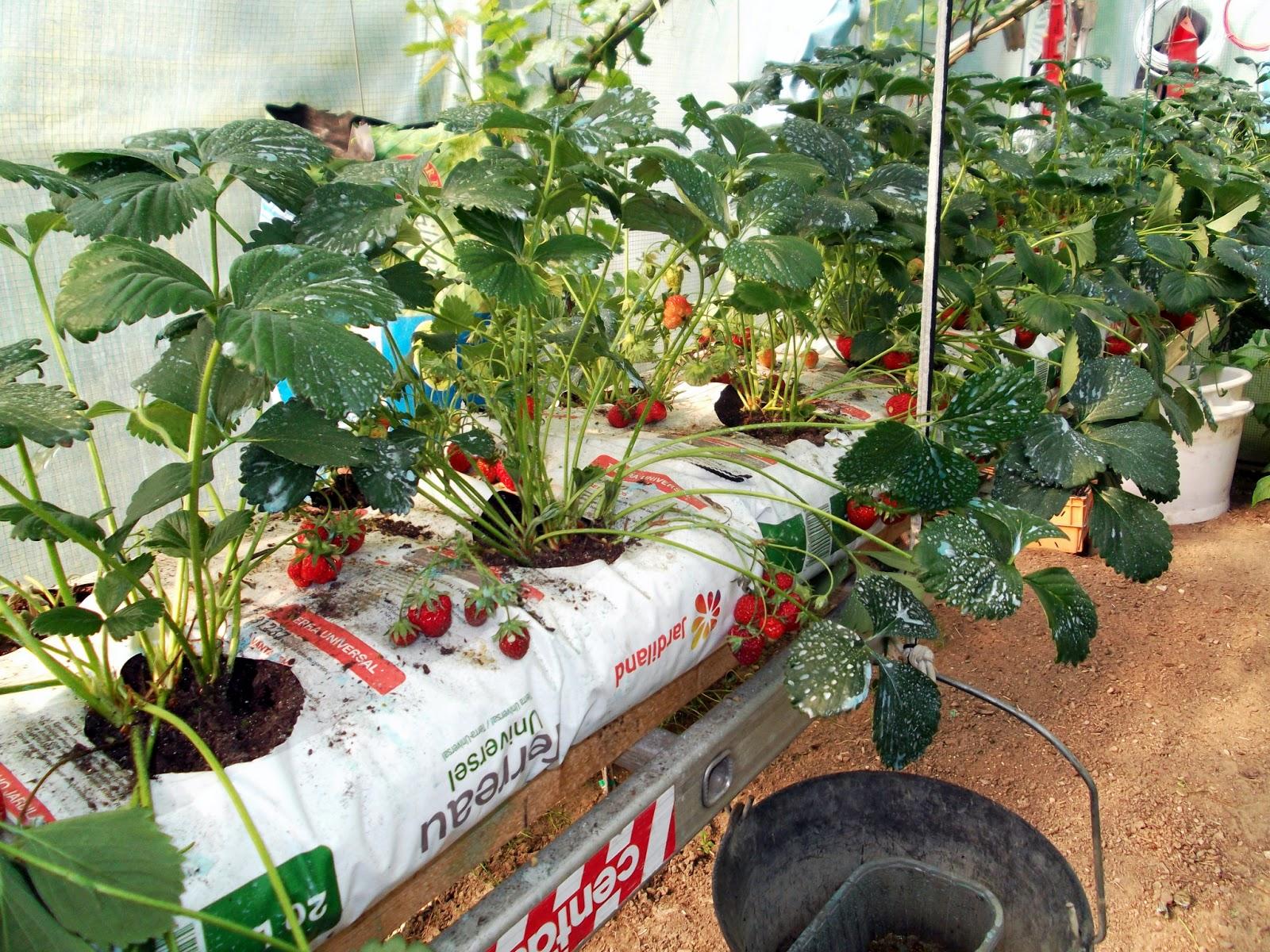 Passion Tomates Les Fruits Rouge Et La Vigne Dans La