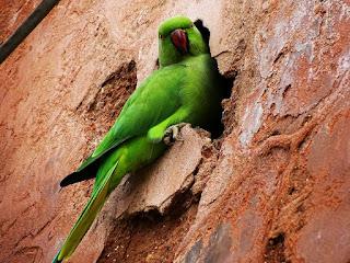 Parrot at Pinzore Garden, Haryana