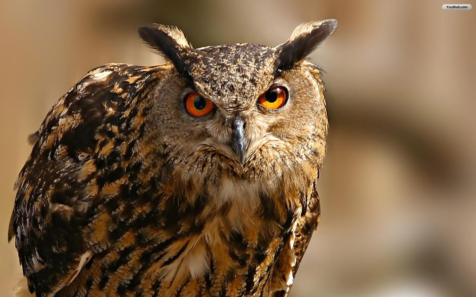 beautiful wallpapers owl wallpaper