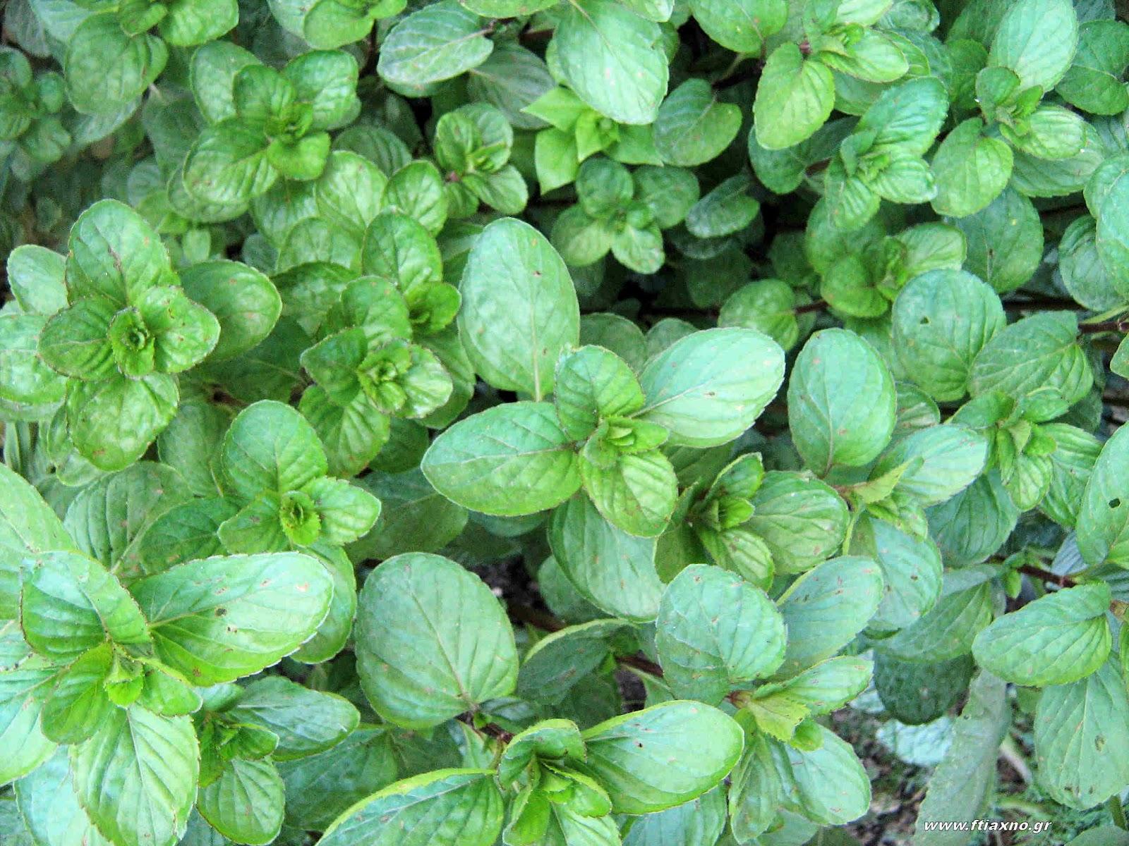 Φυτικά φάρμακα για προστασία φυτών