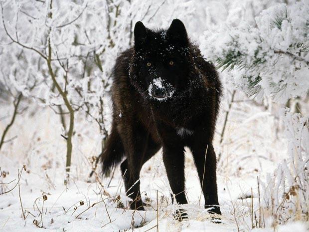 بالأسود أحلى حيوانات سوداء ولكنها جميلة melanistic-black-wol