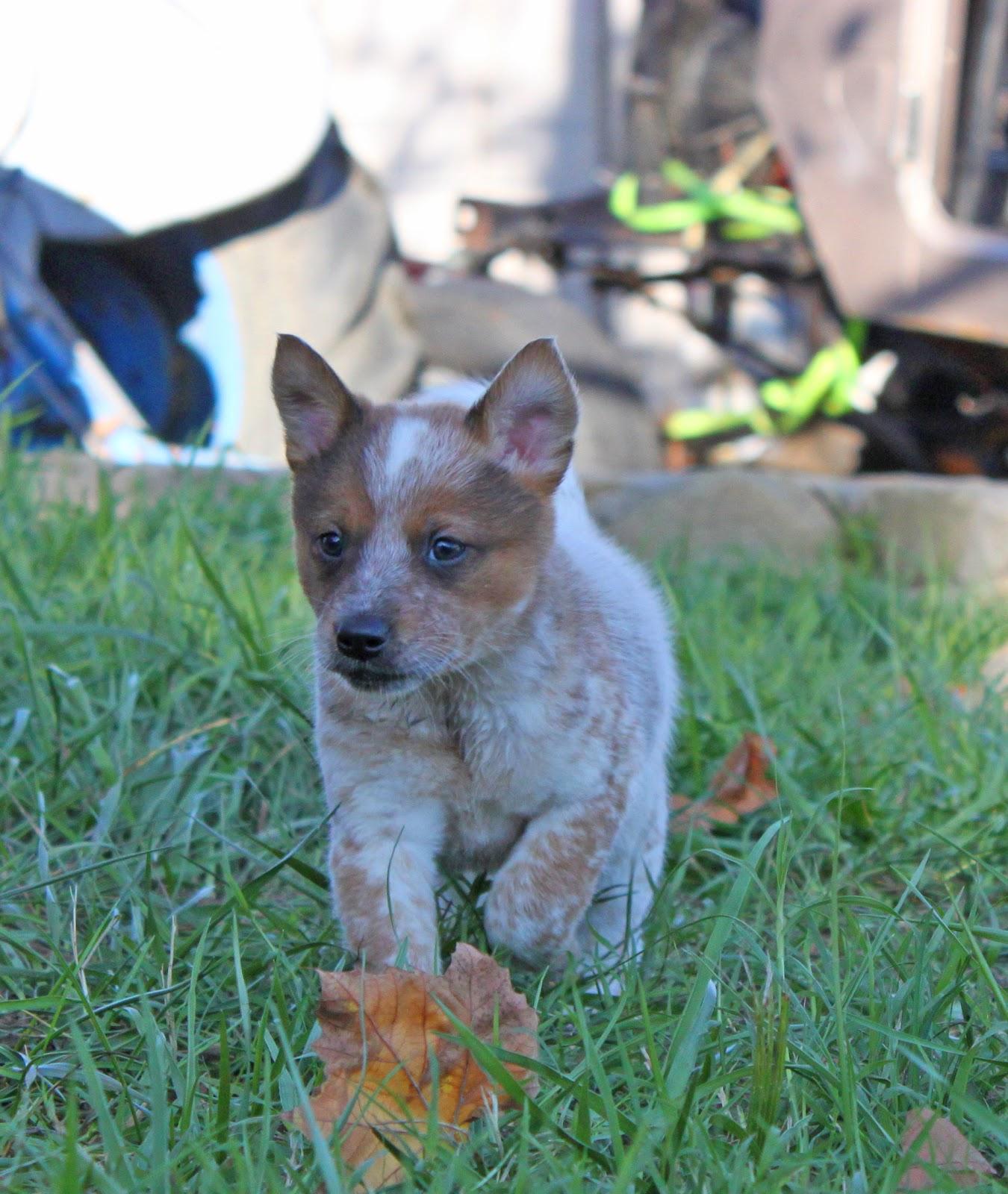 Queensland Heeler Rescue Central California | Dog Breeds ...