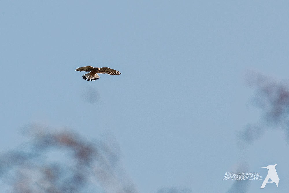 Common Kestrel (cropped photo)