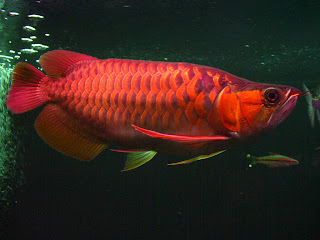 arowana red fish freshwater pets