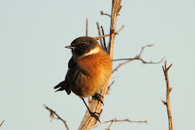 Soil Hill Stonechat