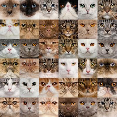 Rostros de Gatos con ojos de diferentes colores