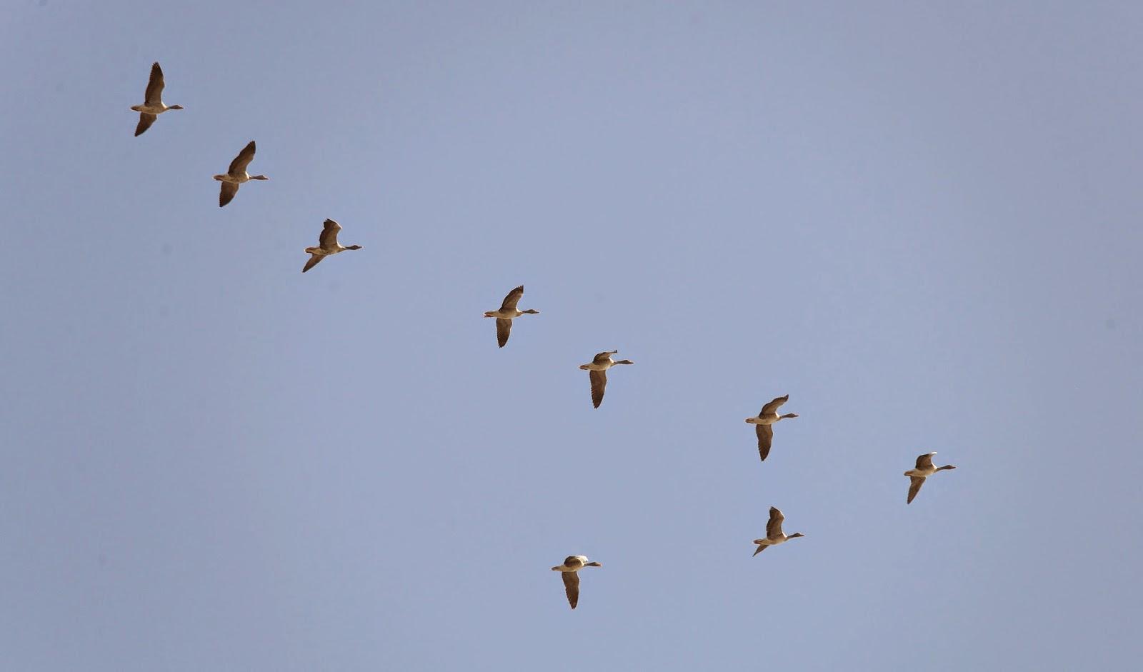 XVIII RECIBIMIENTO A LOS ÁNSARES. Organizado por el grupo local SEO-Sevilla de SEO/BirdLife