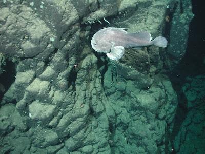 Real Monstrosities: Blobfish Sculpin