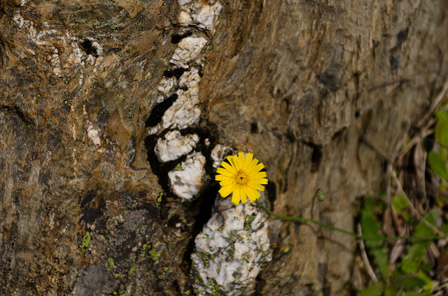 alpine flower growing between a rock