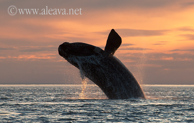 Right Whale in Peninsula Valdes - Sunset