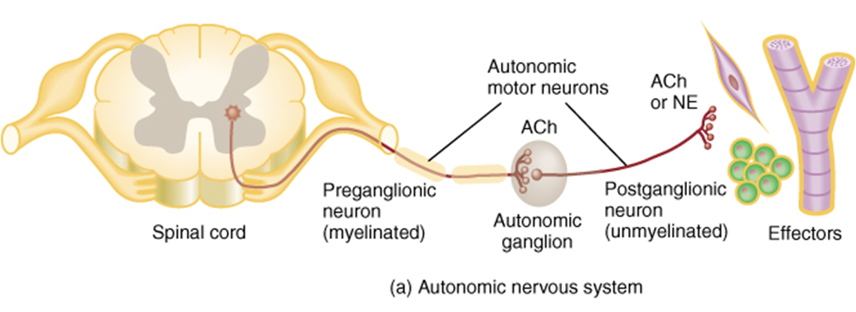 Autonomic Nervous System - Anatomy and Physiology