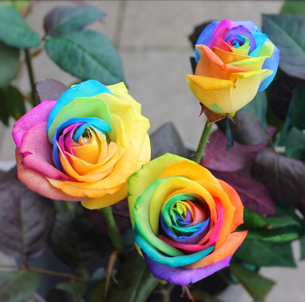 Flower homes rainbow roses for How much are rainbow roses