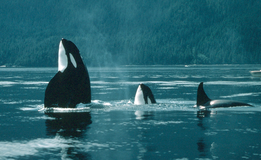 Orca Eating Polar Bear Killer whales are also known