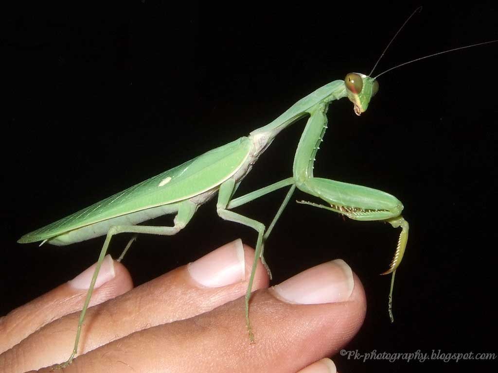 the praying mantis I suppose you would love all these amazing facts about praying mantis for kids these facts tell you everything about the praying mantis' diet, behavior, physical description, and its.