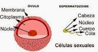 http://cplosangeles.juntaextremadura.net/web/laminas_interactivas/celulas_sexuales01/actividad.html