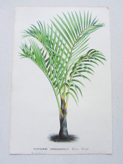 Herm Wendl botanical print