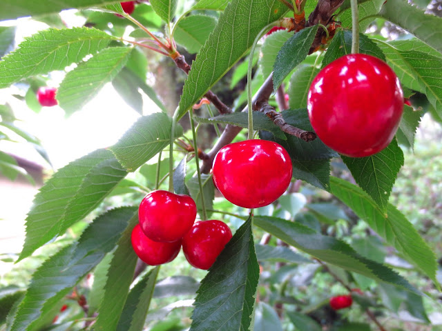 cherry tree cherries garden gardening yard home house hollywood hills plant fruit