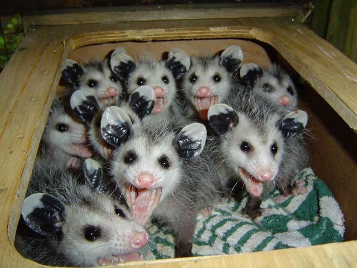 Interesting Possum Pictures and Facts | Animal Wildlife