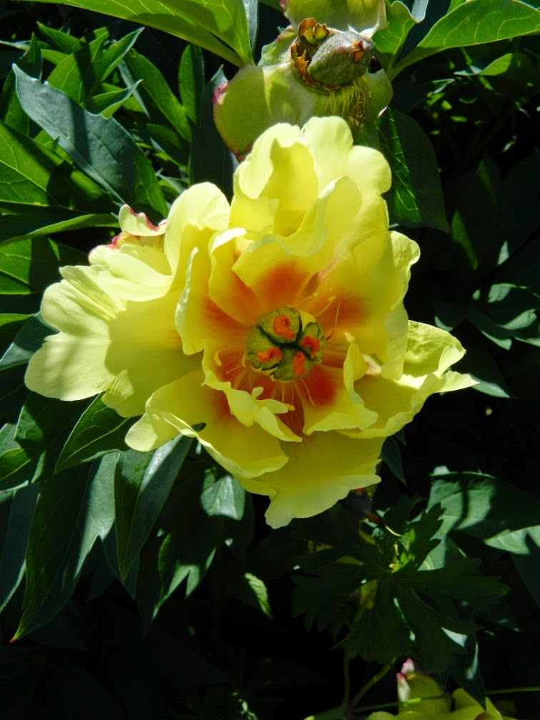 Paeonia Sequestered Sunshine Itoh Peony Toronto Botanical Garden by garden muses-not another Toronto gardening blog