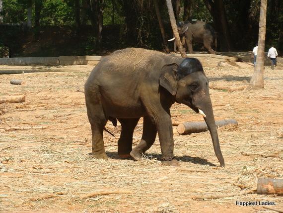 baby elephant myzore zoo