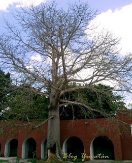 Árbol Ceiba pocas hojas