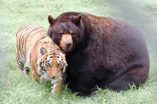 Bear and Tiger