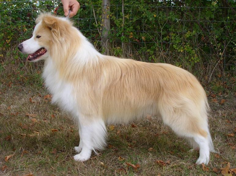 Blonde Border Collie Puppies Images & Pictures - Becuo