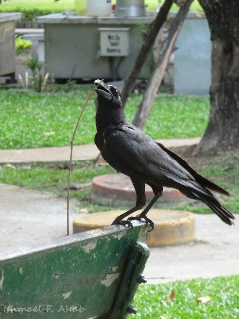A Crow in Lumphini Park, Bangkok