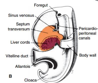 Development Of Body Cavities Mastering Embryology