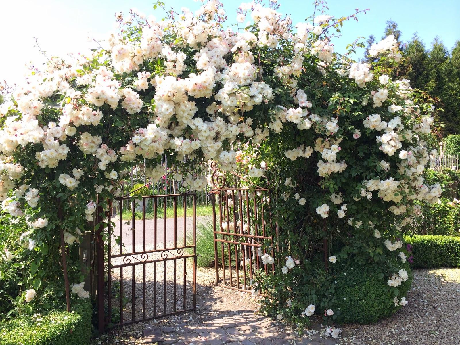 La passion des rosiers la p pini re fil roses for Rosier grimpant pour mi ombre